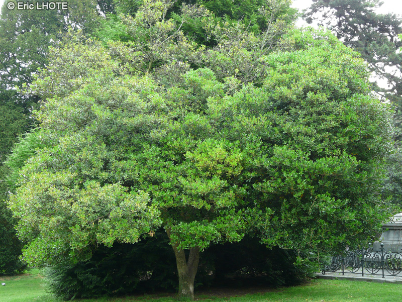 Fiche myrtus communis for Myrte arbuste