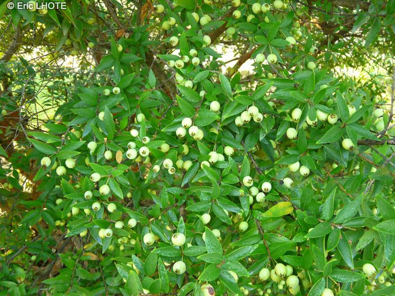 Fiche myrtus communis page 5221 for Plante lacustre