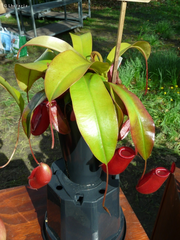 Nepenthaceae - Nepenthes Bloody Mary - Nepenthes, Gourde du mineur