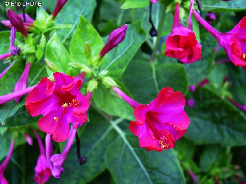 Biblioplantes fiche taxon mirabilis jalapa page 4 - Belle de nuit plante ...