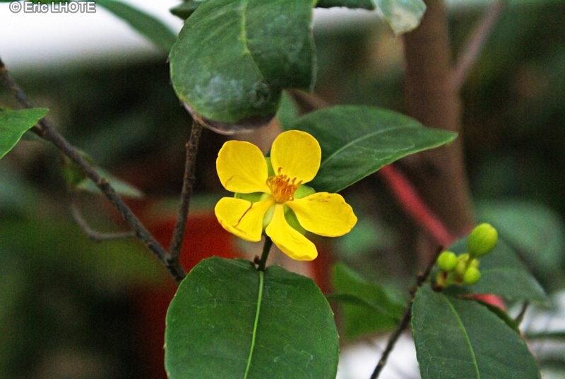 Fiche ochna serrulata for Plante lacustre