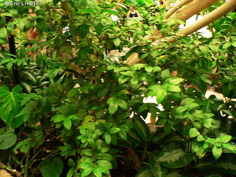 Fiche ochna serrulata page 5295 for Plante lacustre