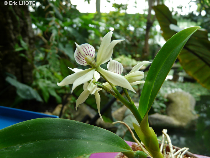 Orchidaceae - Encyclia radiata, Epidendrum radiatum - Encyclia