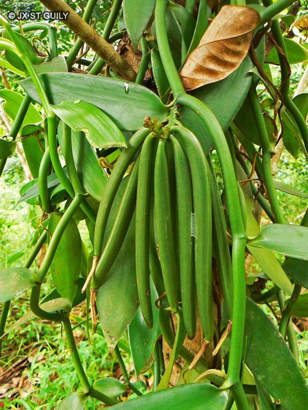 Fiche vanilla planifolia for Plante lacustre