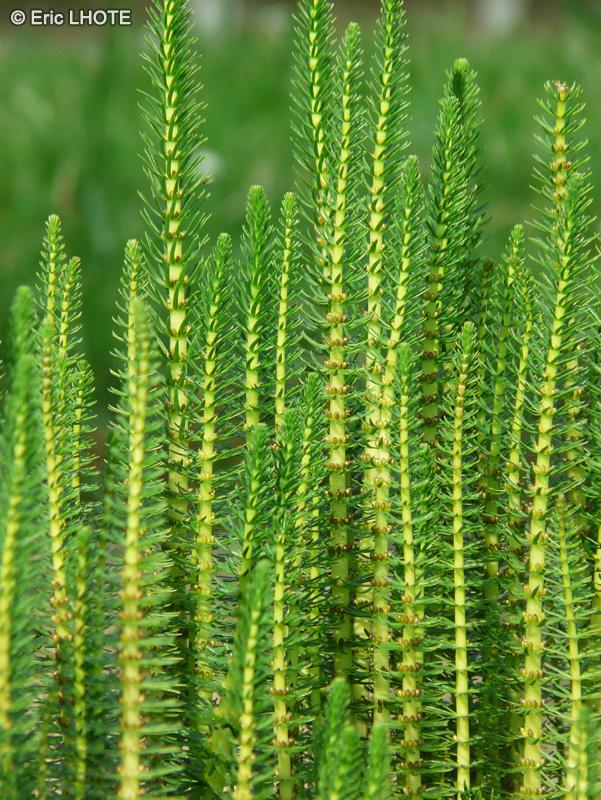 Fiche hippuris vulgaris for Plante lacustre
