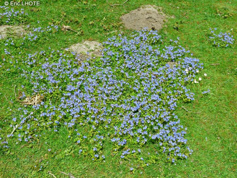Fiche veronica chamaedris for Plante lacustre