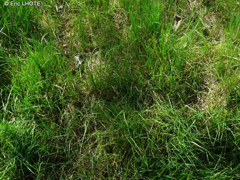 Fiche agrostis stolonifera for Plante lacustre