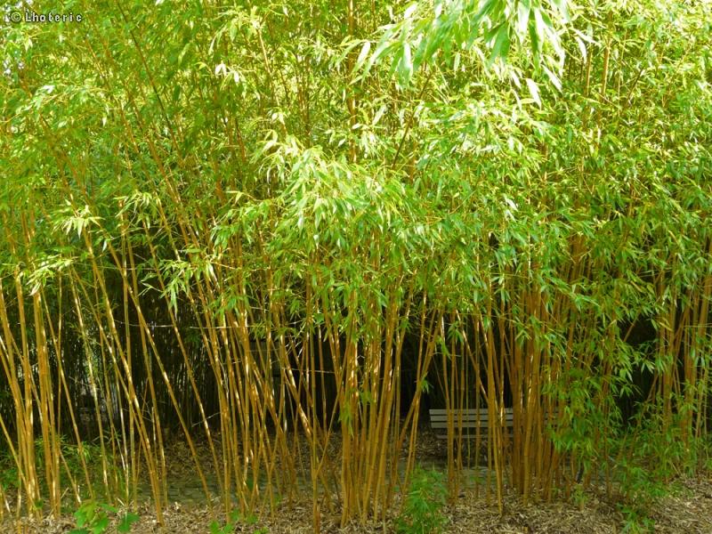 Fiche phyllostachys aurea holocrysa for Phyllostachys aurea en pot