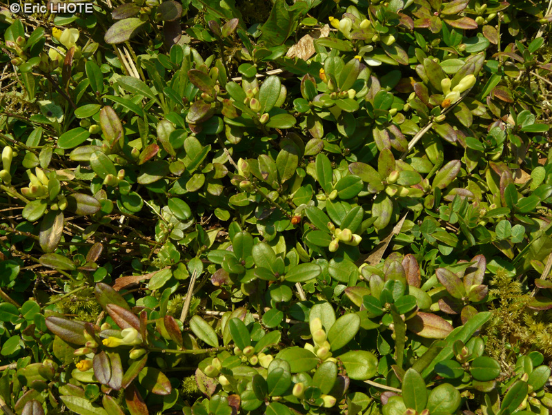 Moments de vie page 161 - Polygala myrtifolia feuilles jaunes ...