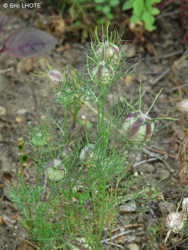 Fiche nigella sativa for Plante nigelle