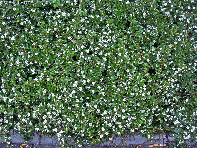 Fiche cotoneaster horizontalis page 6609 for Plante lacustre