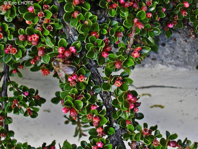 Fiche cotoneaster horizontalis page 6610 for Plante lacustre