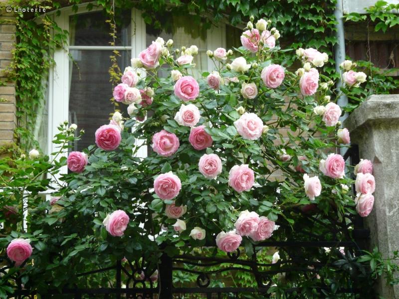 Fiche rosa pierre de ronsard for Pierre de ronsard rosa