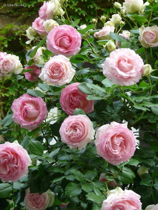 Fiche rosa pierre de ronsard page 9805 for Pierre de ronsard rosa
