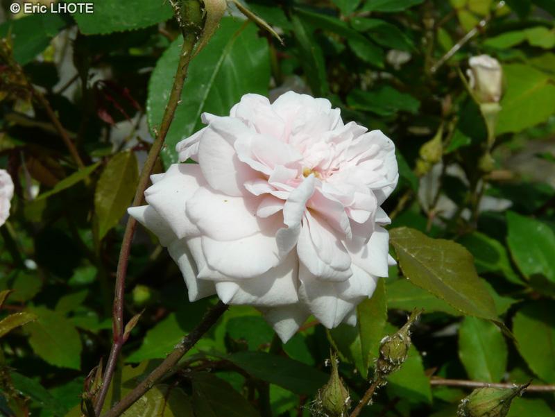 Cecile Brunner Polyantha Rose Rosa Polyantha c Cile Brunner