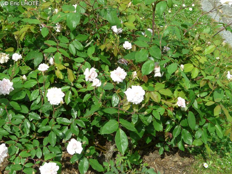 Cecile Brunner Polyantha Rose Polyantha c Cile Brunner