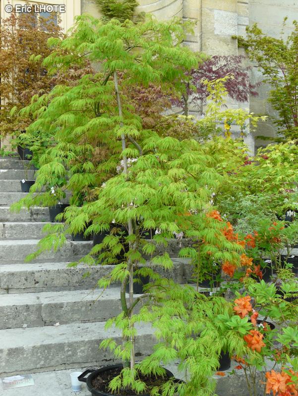 Erable nain du japon top rable du japon feuilles duaconit - Comment tailler un erable ...