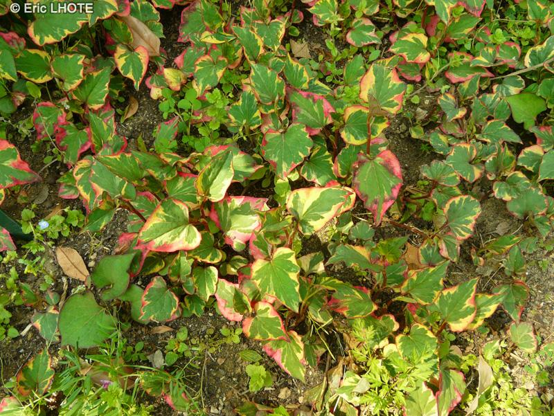 Fiche houttuynia cordata chameleon gymnotheca involucrata for Plante lacustre