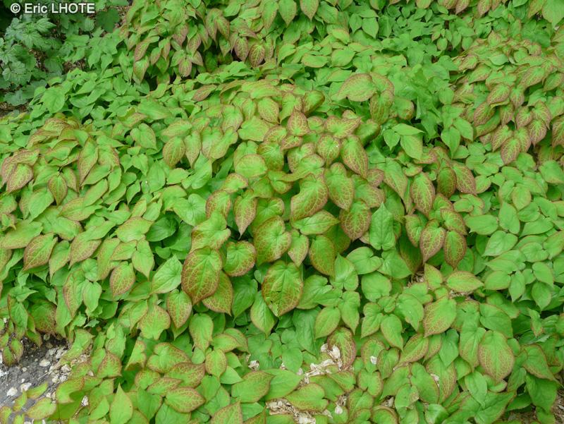 Fiche houttuynia cordata gymnotheca involucrata for Plante lacustre