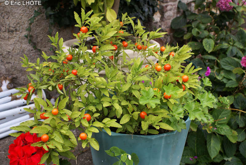 Solanum pommier d amour maison design - Pommier d amour entretien ...