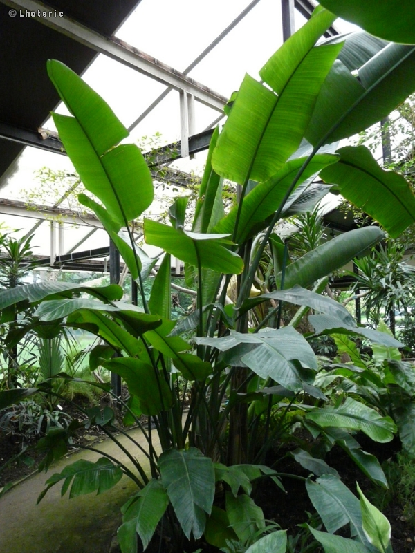 Fiche strelitzia nicolai alba for Plante oiseau de paradis