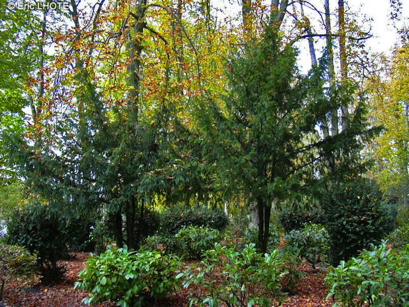 - Taxus baccata -
