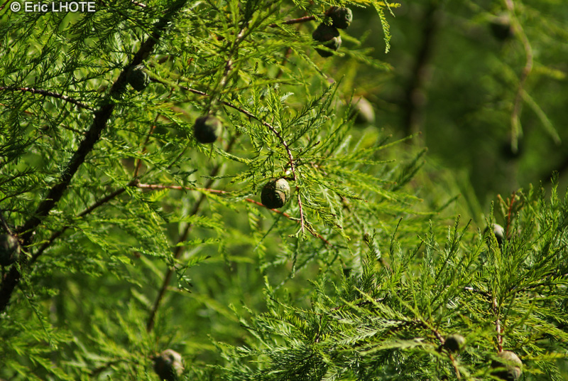 - Taxodium distichum -