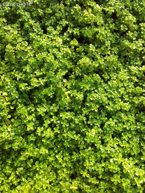 Fiche pilea depressa for Plante lacustre