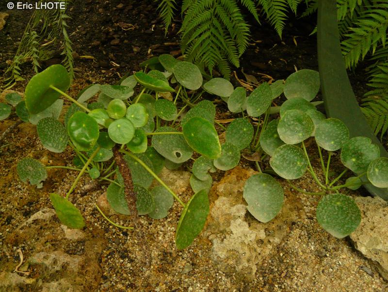 Fiche pilea peperomioides for Plante lacustre