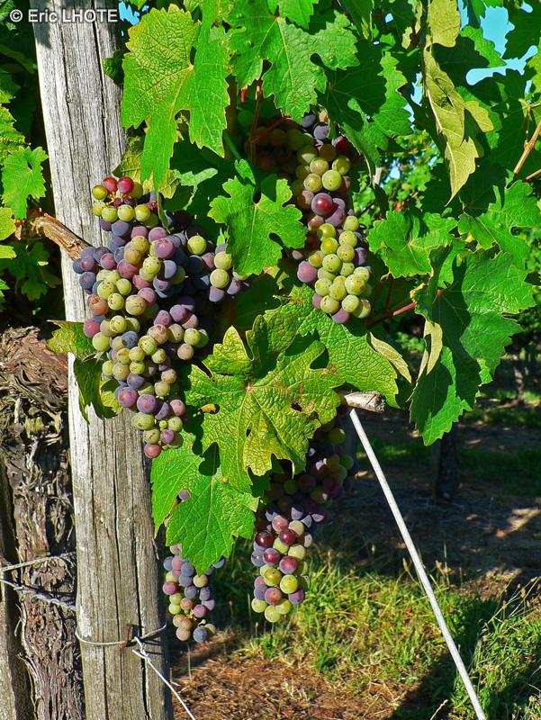 Veldt Grape Cissus Quadrangularis: Fiche Vitis Vinifera
